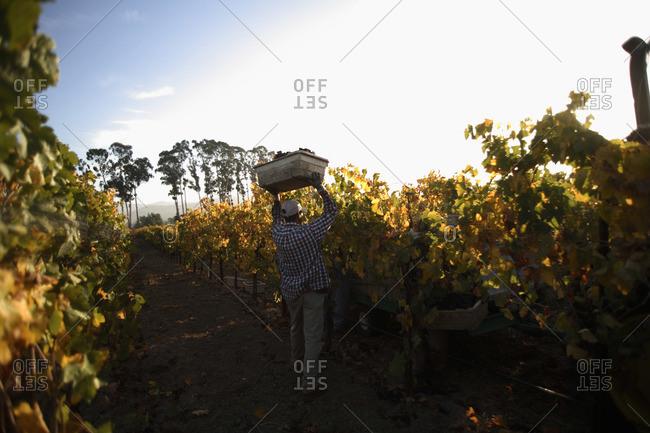 Man harvesting merlot grapes in Napa, California