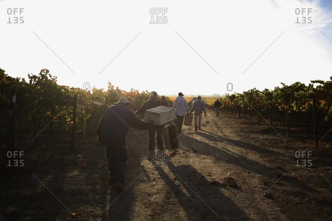 People harvesting merlot grapes in Napa, California