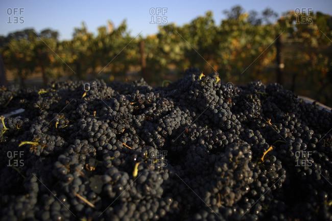 Heaps of merlot grapes in Napa, California