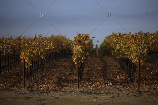 Grape field at sunset in Napa, California