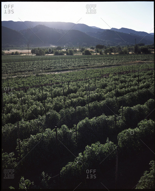 Rows of organic cherry tomatoes at a farm in Northern California's Capay Valley