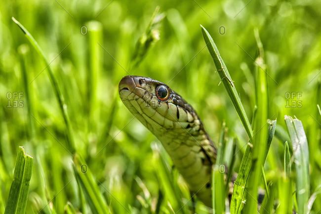 Close up of a garter snake in grass