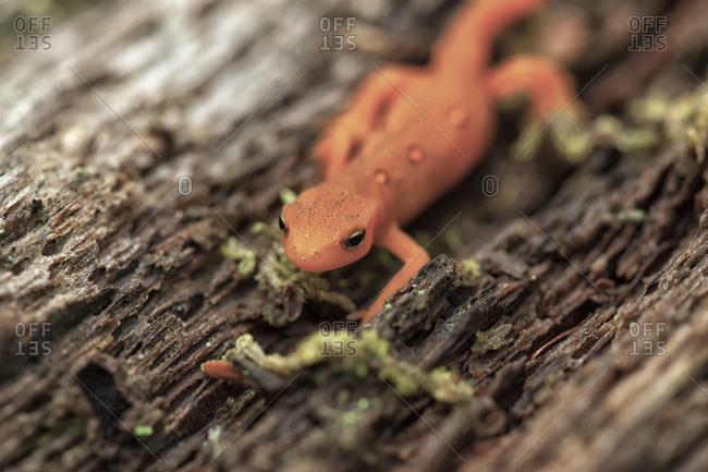 Close up of an orange newt