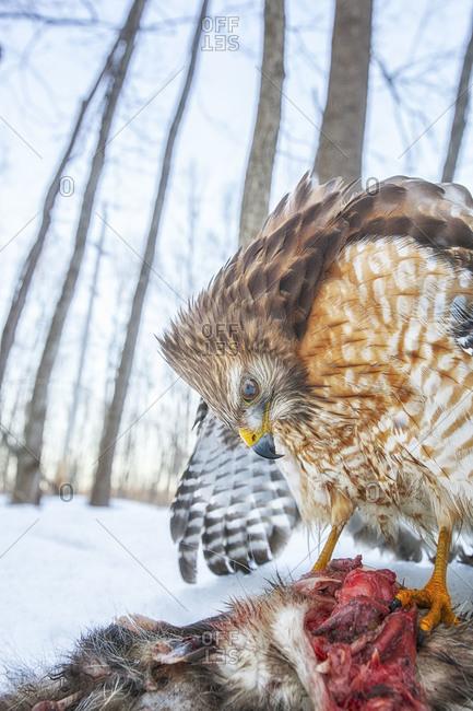 Red-shouldered hawk feeding on its prey