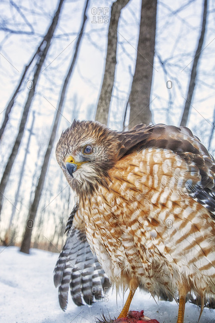 Close up of a red-shouldered hawk