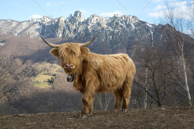 Highland cattle in Monte Roveraggio, Ticino, Switzerland