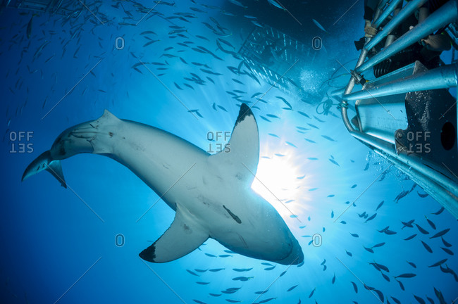 Scuba diver in shark cage photographing white shark, Carcharodon carcharias