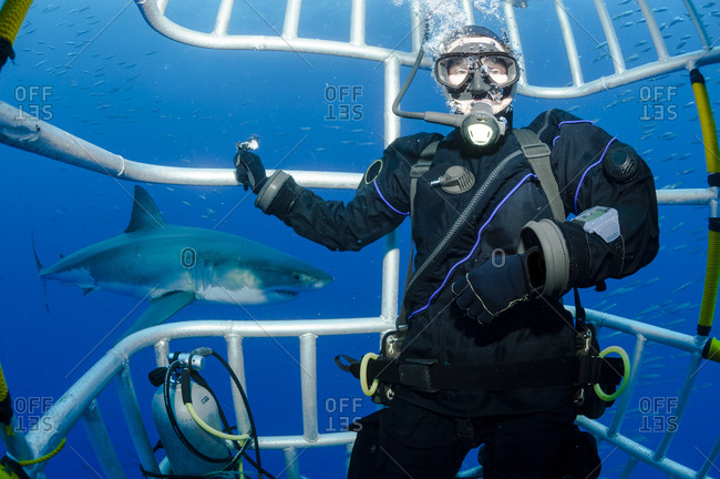 Scuba diver in shark cage with white shark, Carcharodon carcharias, in the background