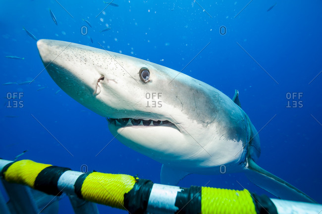 Portrait of white shark, Carcharodon carcharias at shark cage
