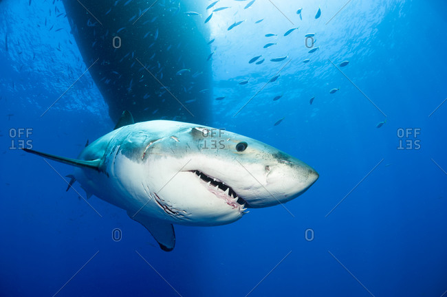 Portrait of white shark, Carcharodon carcharias