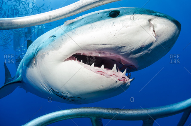 White shark, Carcharodon carcharias, at shark cage