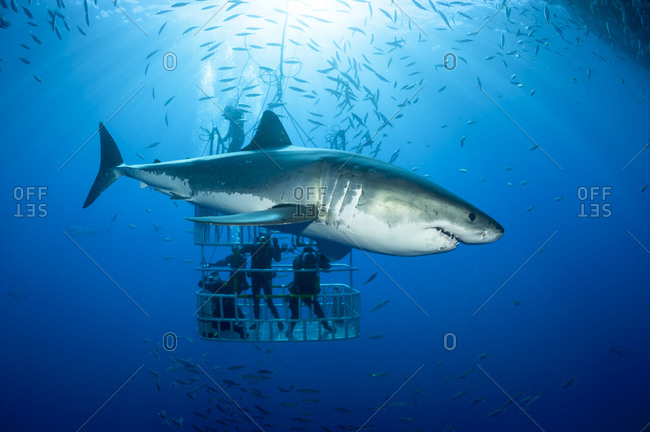 Scuba divers in shark cage with white shark, Carcharodon carcharias, in the foreground