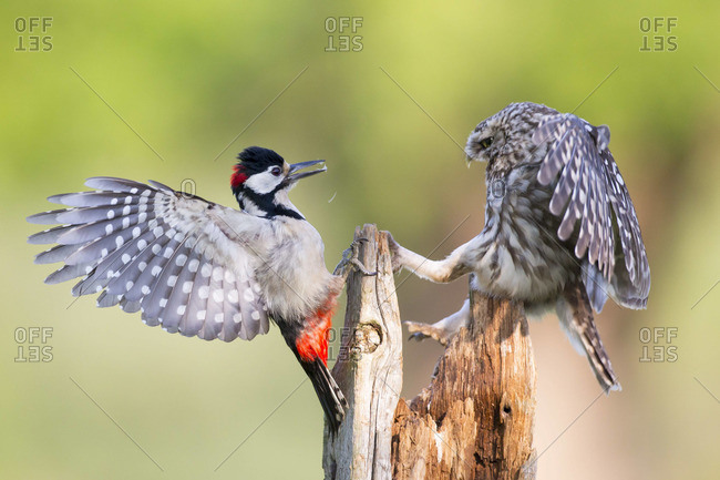 Little Owl defending its feeding position from a Great spotted woodpecker