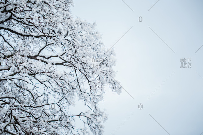 Close up of a snow-covered tree