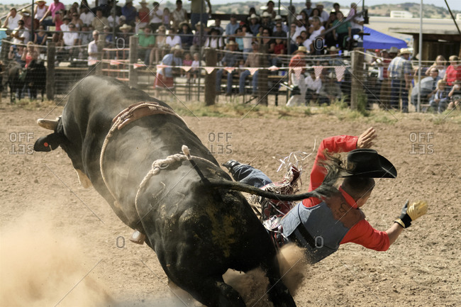Man falling off a bull at a local rodeo in Galisteo, New Mexico