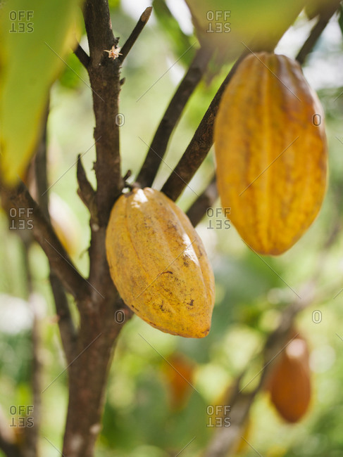 Cacao pods on the tree before harvest, Dominican Republic
