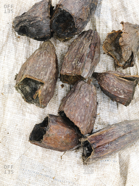 Dried , broken, and empty cacao seed pods, Dominican Republic