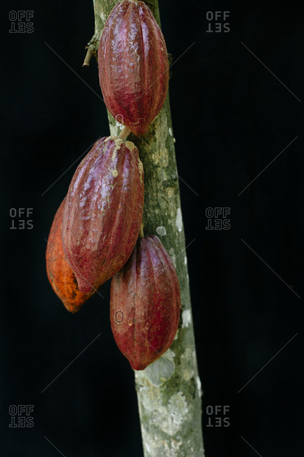 Four cacao pods on a single branch, Dominican Republic
