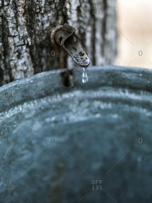A drop of raw maple sap falling into a bucket, New Hampshire