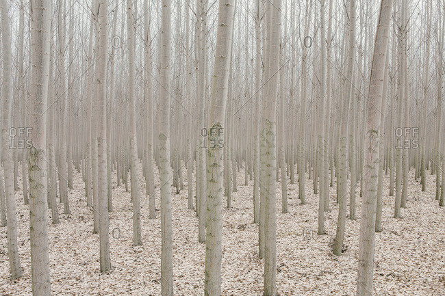 Poplar trees on commercial tree farm, Oregon