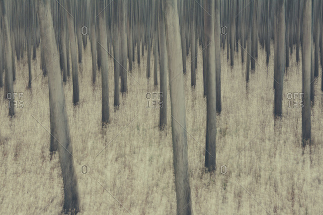 Poplar trees on commercial tree farm, blurred motion abstract, Oregon