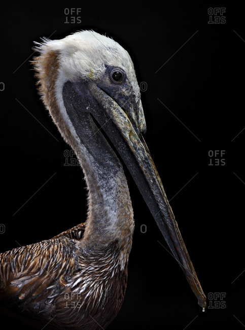 Injured brown pelican