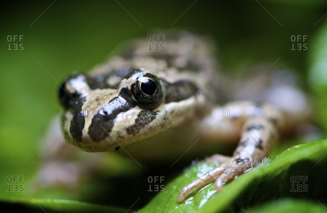 A Spotted Marsh Frog sitting on green foliage with blurred background.