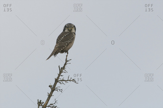 A northern hawk owl has the highest lookout possible.