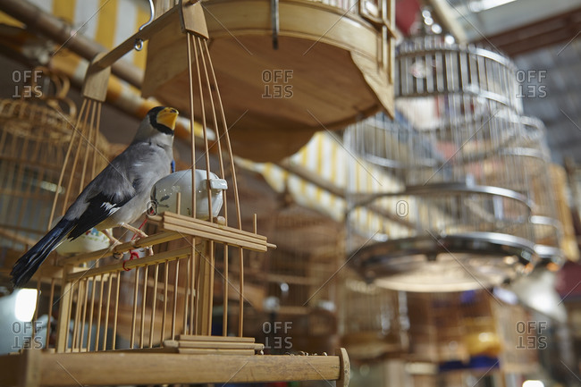 A captive songbird at the Bird, Fish and Insect Market, Shanghai, China.