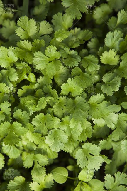 Close up of cilantro