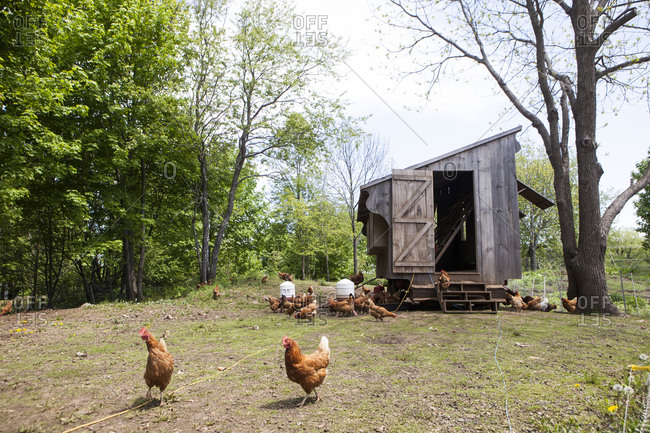 Free-range chickens and a coop at farmyard