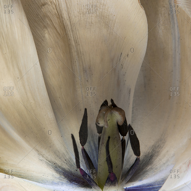 Close up of the pistil of a tulip