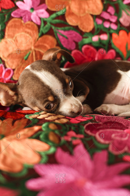 Chihuahua puppy on embroidered couch