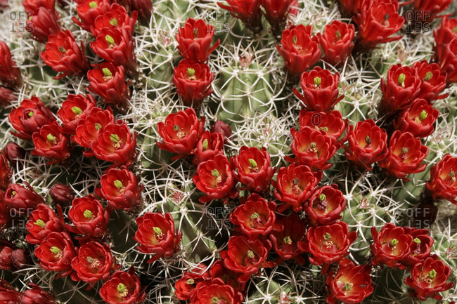 Claret cup cactus in bloom in New Mexico, United States