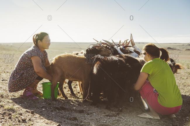 Mongolia - August, 2013: Mongolian women hand milking goats