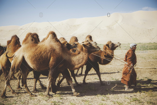 Mongolia - August, 2013: Caravan among dunes in Gobi desert