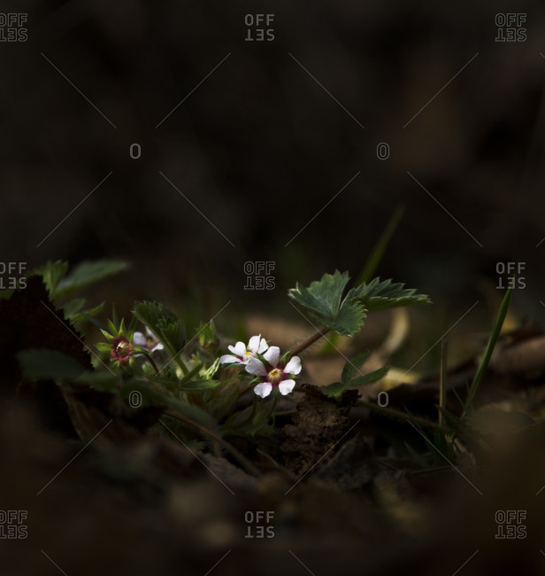 Close up of wild strawberries flower in a forest