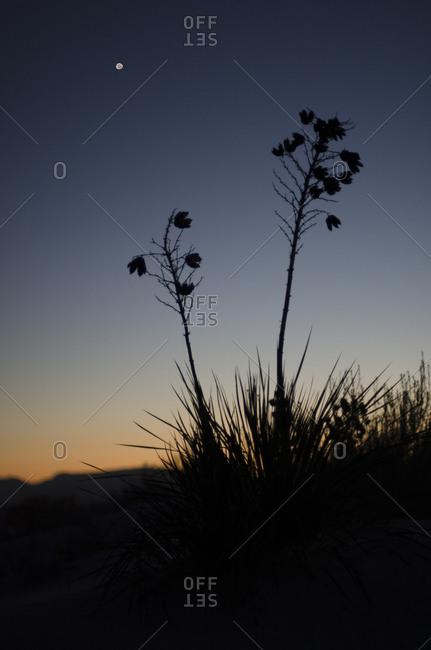 Full moon over a silhouette of a Yucca plant in White Sands National Monument, New Mexico, USA