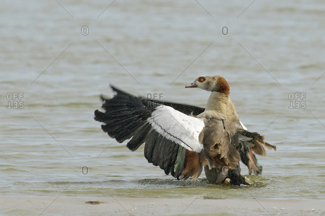 Egyptian goose, alopochen aegyptiacus, spreading wings at waterside