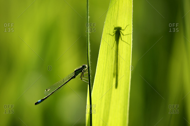 Blue-tailed damselfly, ischnura elegans - Offset
