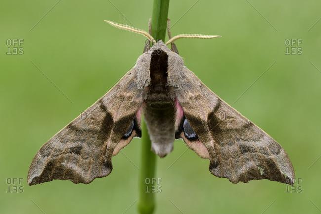 Eyed hawk-moth, smerinthus ocellatus - Offset