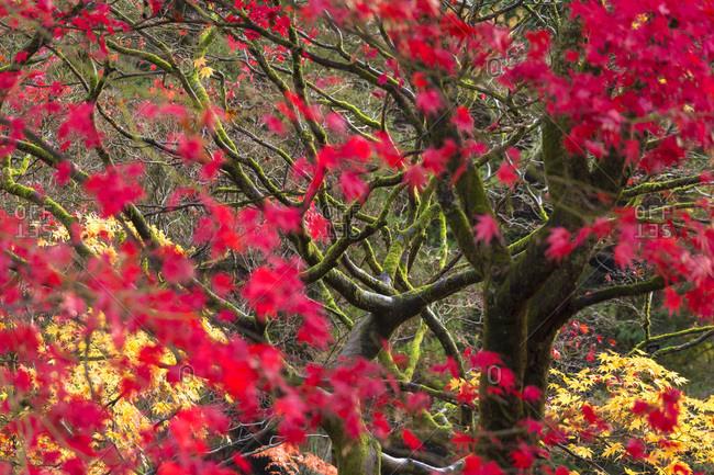 Close up of Japanese maple in The National Arboretum, Westonbirt, Gloucestershire, England