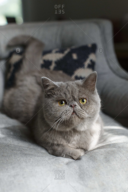 Grey Exotic Shorthair cat lying on a bed