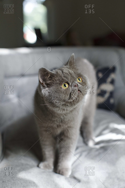 Grey Exotic Shorthair cat standing on a bed