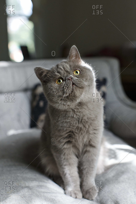 Grey Exotic Shorthair cat sitting on a bed