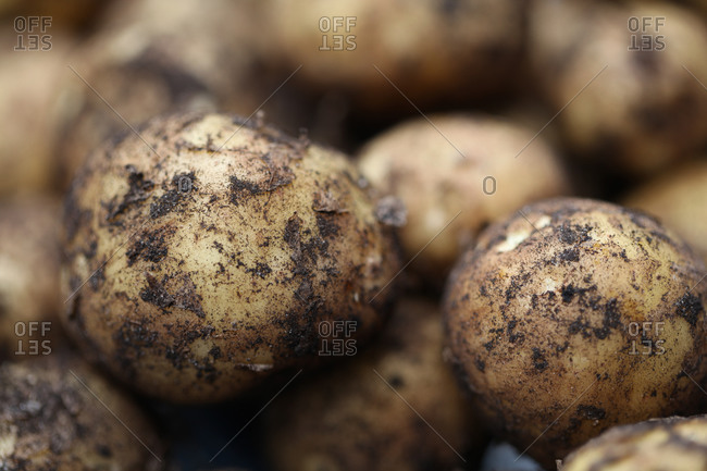 Fresh newly dug potatoes