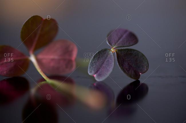 Oxalis acetosella leaves in dark
