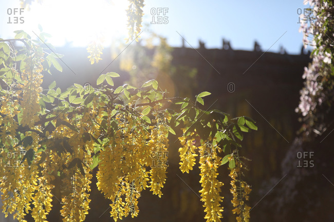 Hanging yellow flower branches