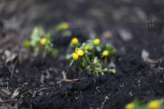 Bush with yellow flower buds and soil