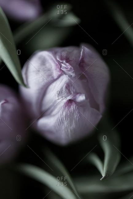 Tulip flower head